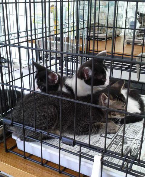 市民参加で譲渡会デビューの子猫達。3匹、貰われました