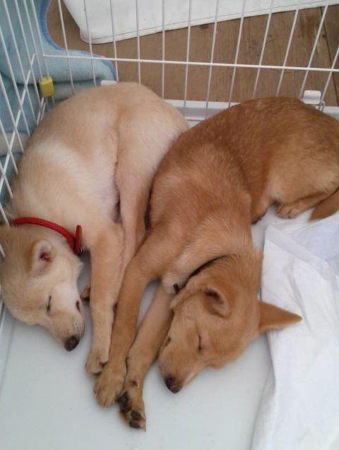 最初は緊張気味だった仔犬達も、安心してすやすや